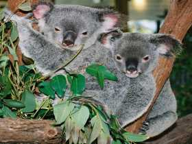 Kuranda Koala Gardens Logo and Images
