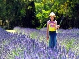 Brayfield Park Lavender Farm Image