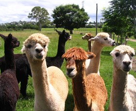 Banyandah Alpacas Logo and Images
