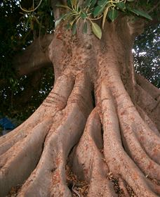 The Big Fig Tree Logo and Images