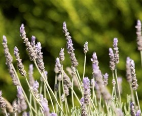 Rustique Lavender Farm Logo and Images