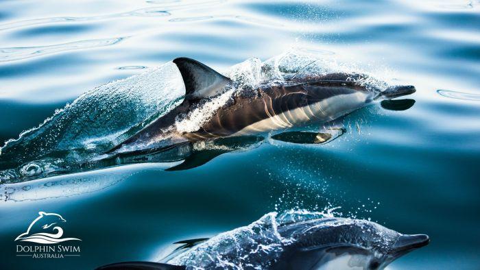 Dolphin Swim Australia Logo and Images