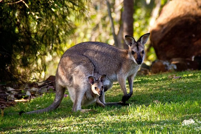 Koalas, Kangaroos & Mt Coot-tha Scenic Views Private Tour with Local Guide Logo and Images