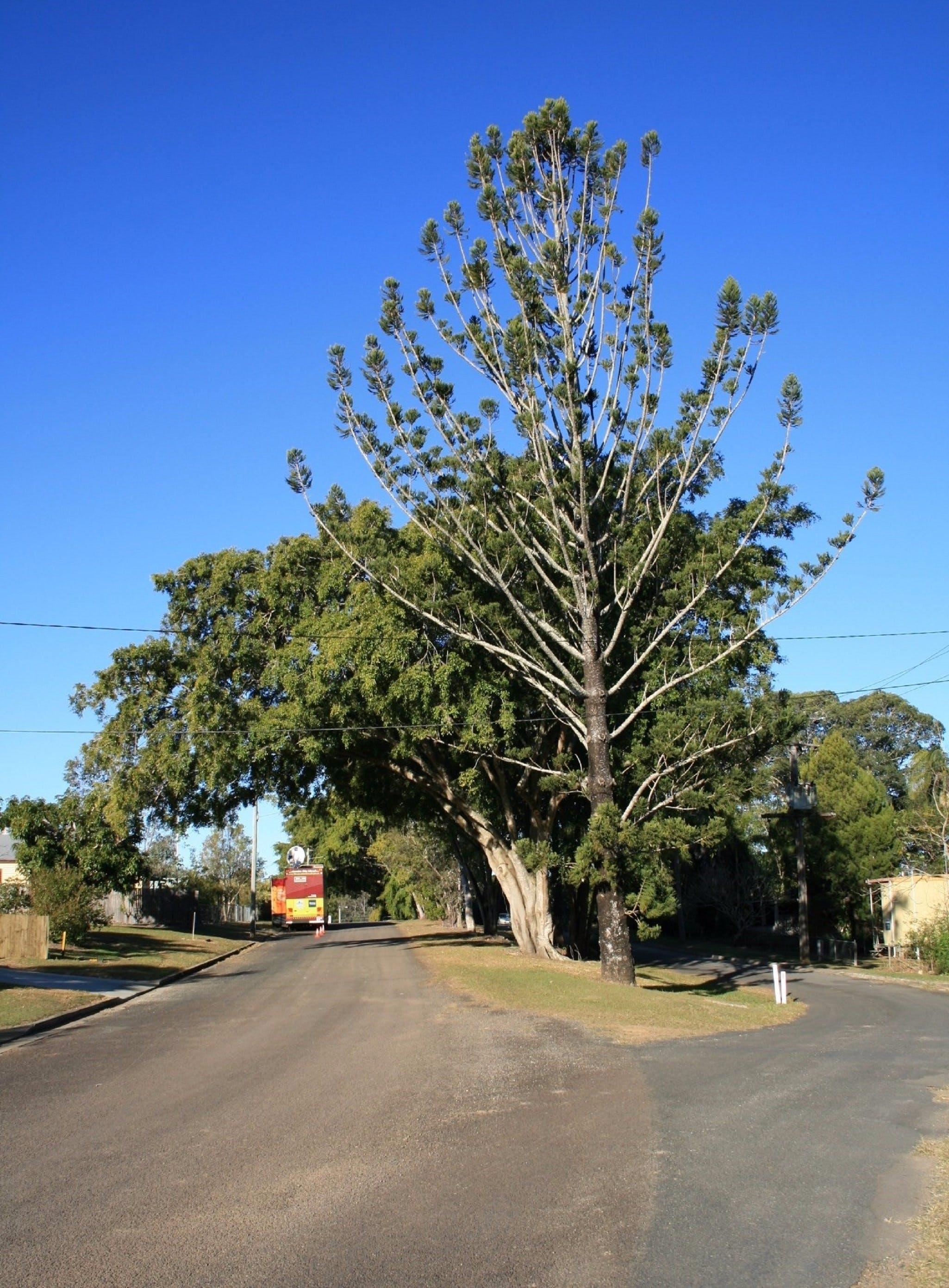 Anzac Avenue Memorial Trees, Beerburrum Logo and Images