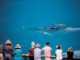 Whale Watching At Head Of Bight Image