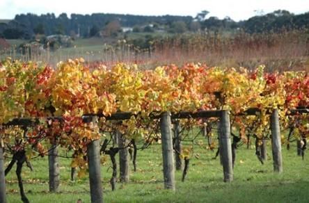 Apsley Gorge Vineyard