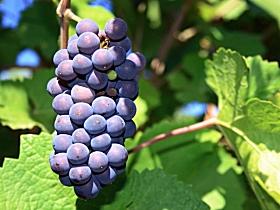 Tinderbox Vineyard