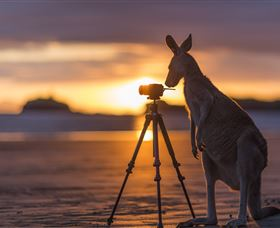 Wallabies on the Beach at Cape Hillsborough Logo and Images