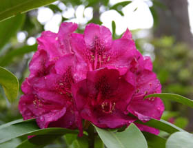 Campbell Rhododendron Gardens Image
