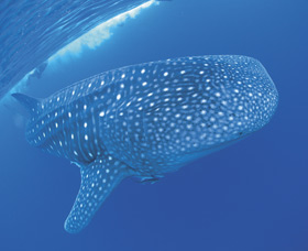 Swim with the Whale Sharks Logo and Images