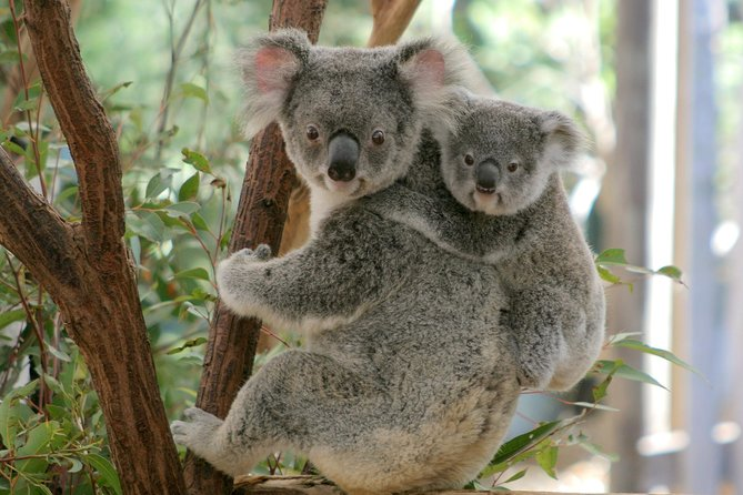 Koala Express to Lone Pine Koala Sanctuary Logo and Images