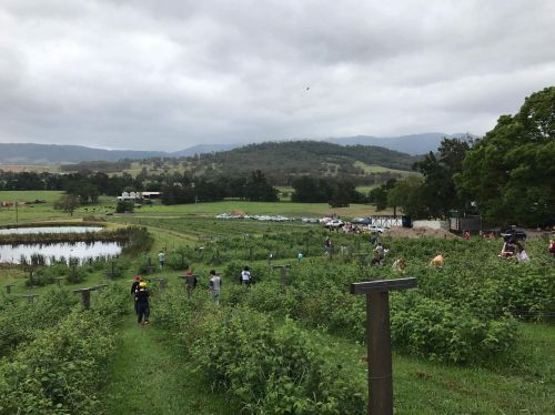 Kareelah Berry Farm