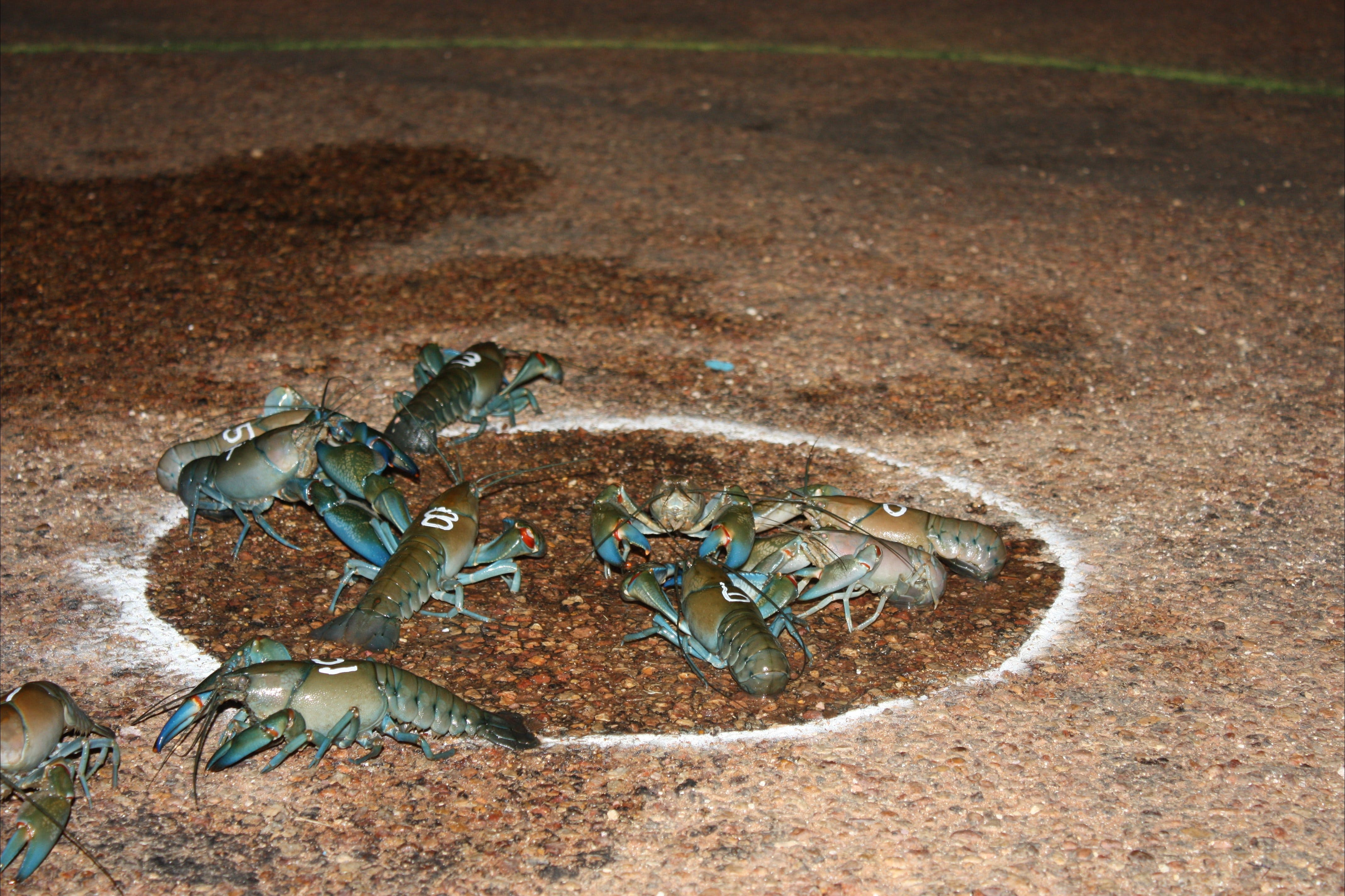 Windorah International Yabby Races - Postponed Logo and Images