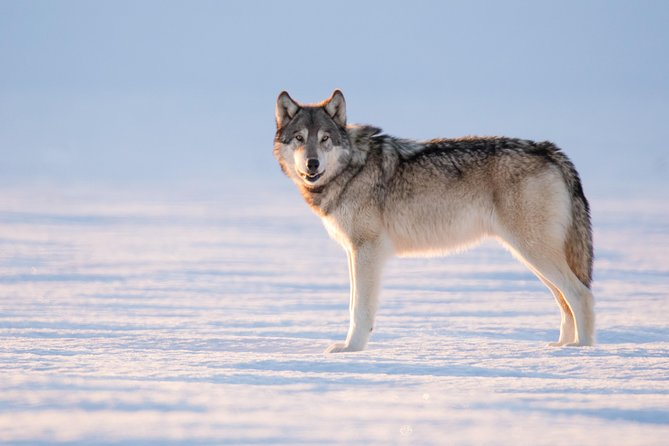 3-Day Winter Wolves & Wildlife of Northern Yellowstone